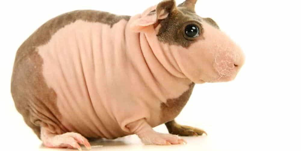 guinea pig hairless funny e1589640285634