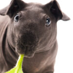 Hairless Guinea Pigs - What You Need to Know
