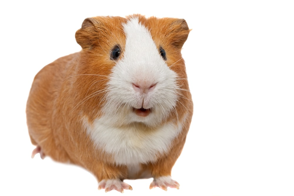 guinea pig happy talking