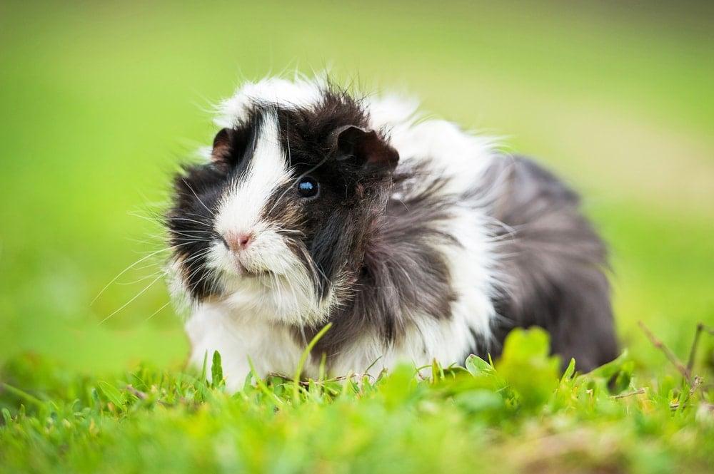guinea pig happy