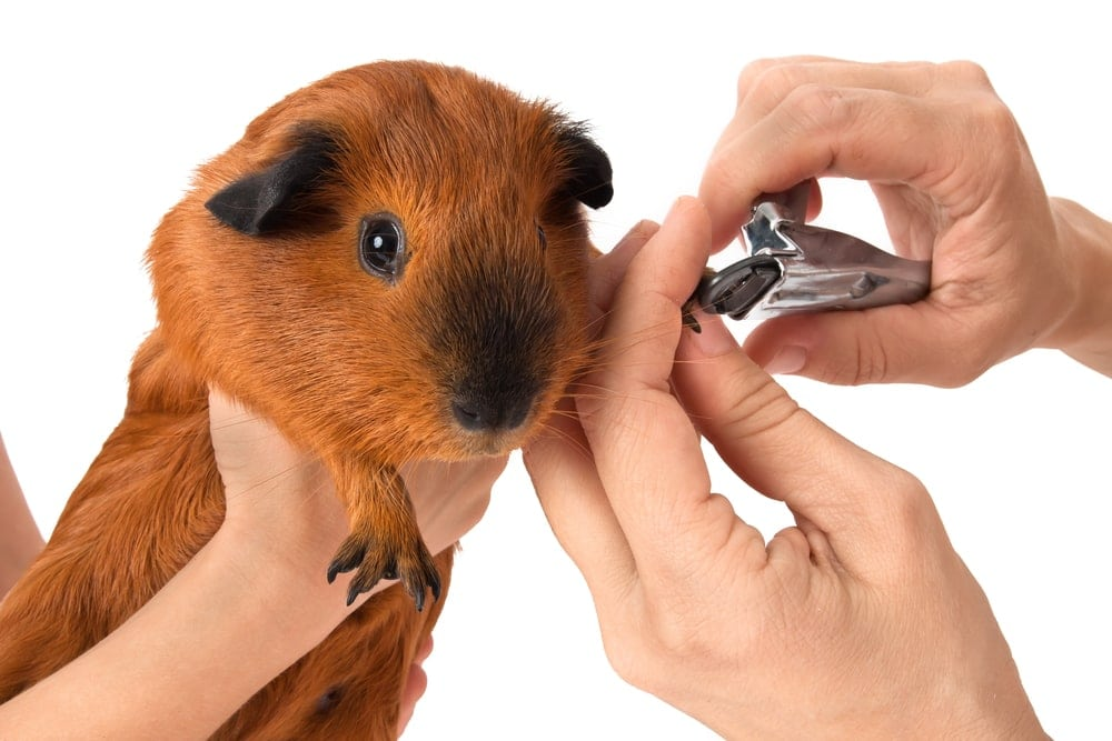 guinea pig hates nails