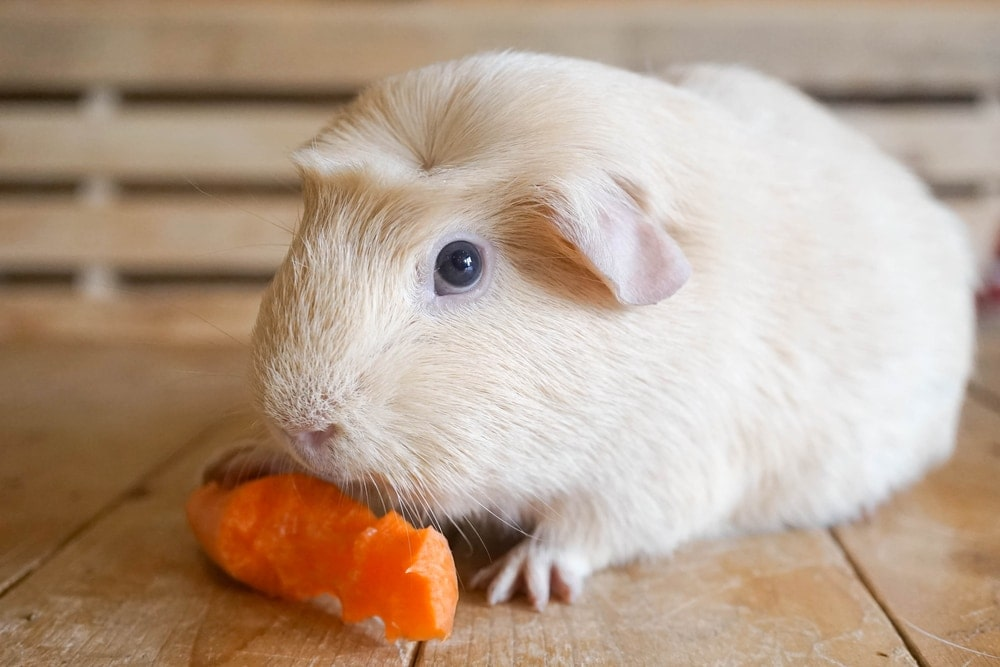 guinea pig having lunch