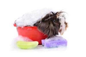guinea pig in a bath