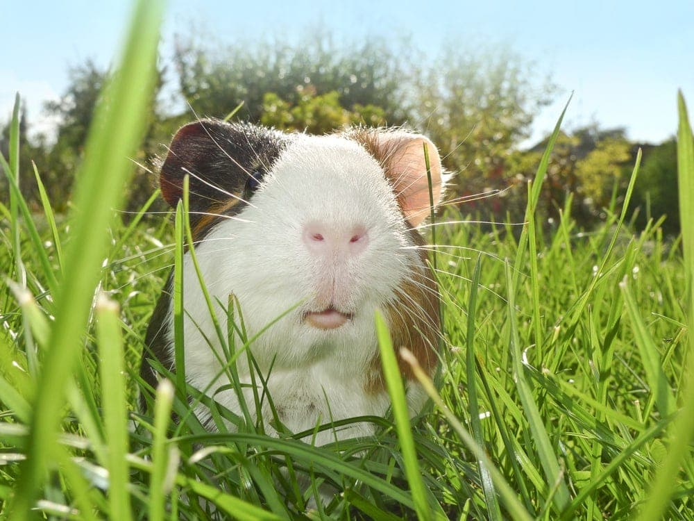 guinea pig in a grass