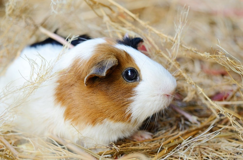 guinea pig in a hay