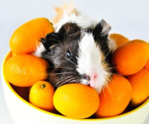 guinea pig in oranges