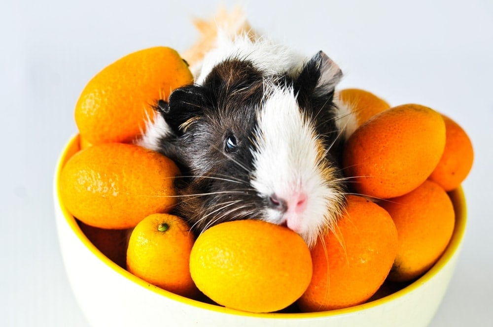 guinea pig in oranges