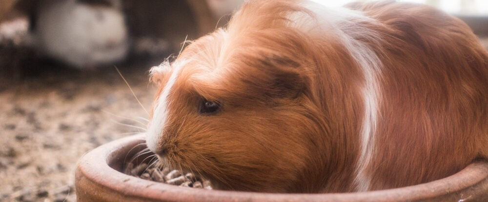 guinea pig is e1590140649211