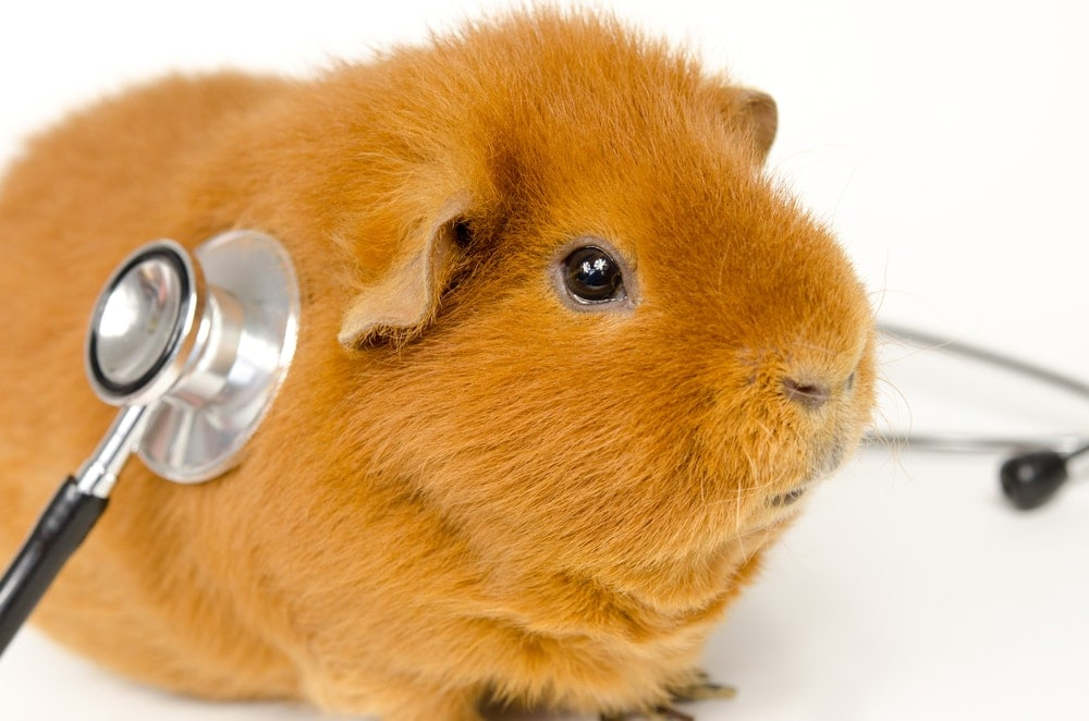 guinea pig is a doctor