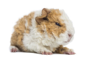 guinea pig is angry