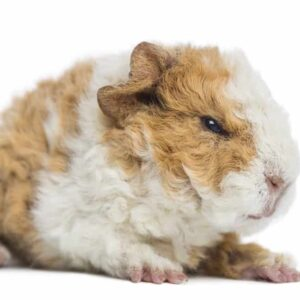 Can Guinea Pigs Bite and Can You Prevent It?