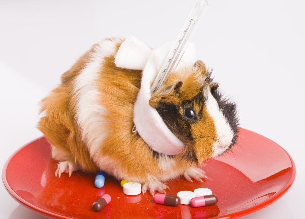 guinea pig is sick