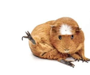 guinea pig leg