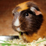 Can Guinea Pigs Be Left Alone And For How Long?