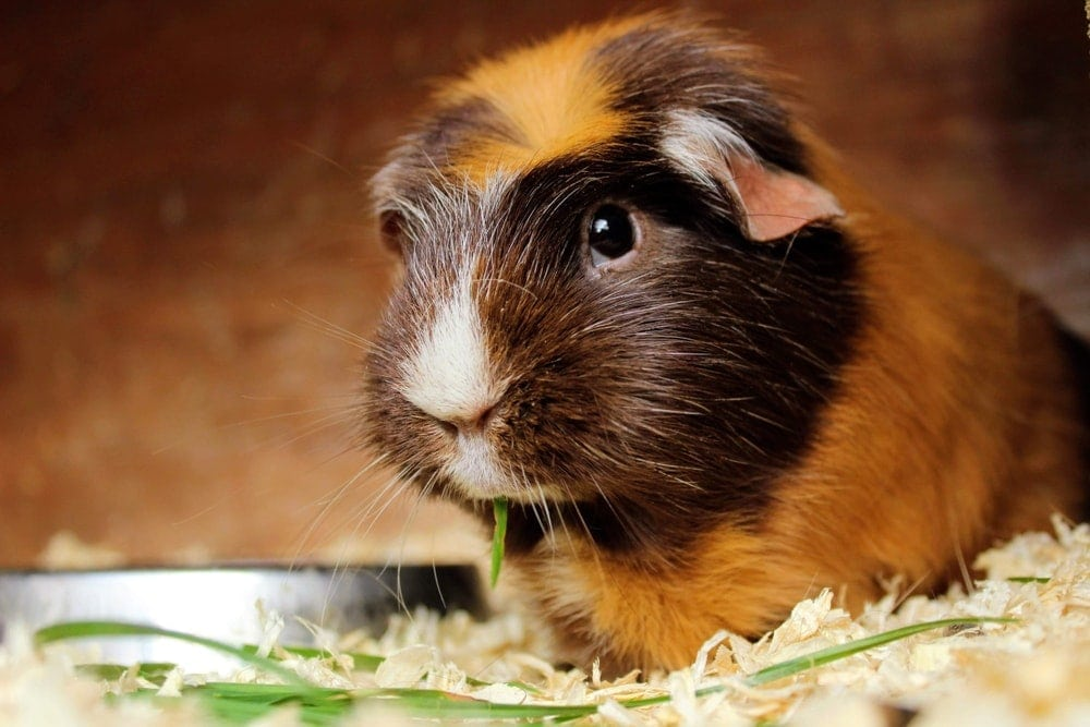 guinea pig lonely