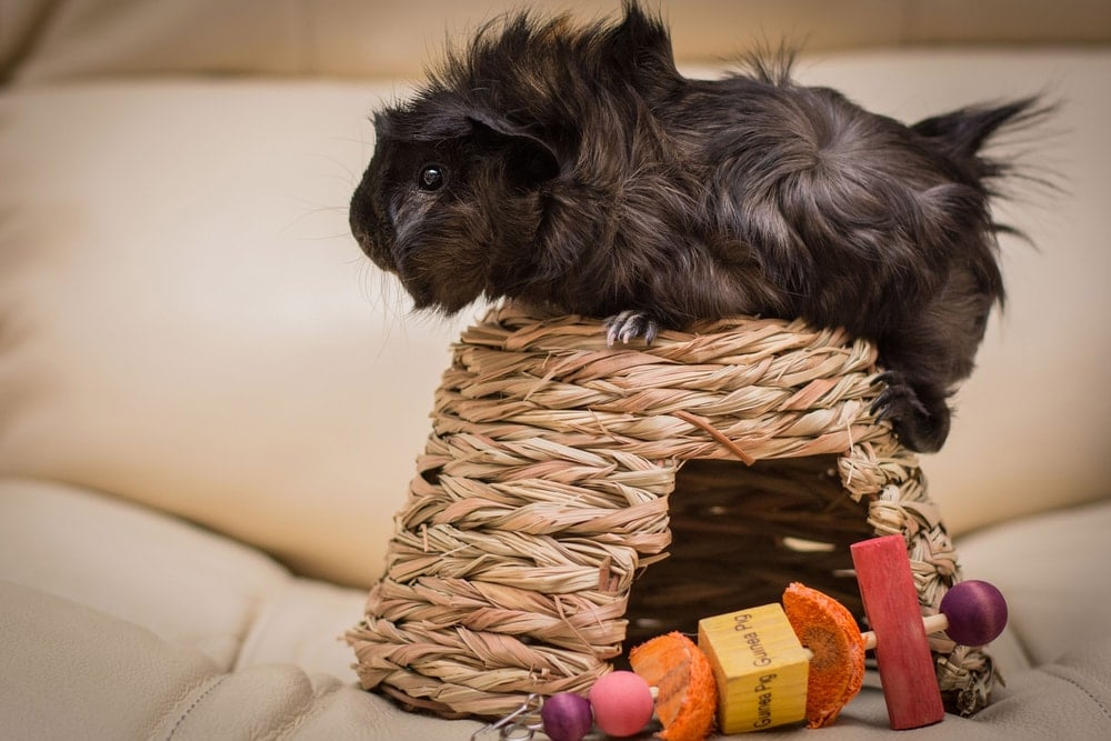 guinea pig on a basket