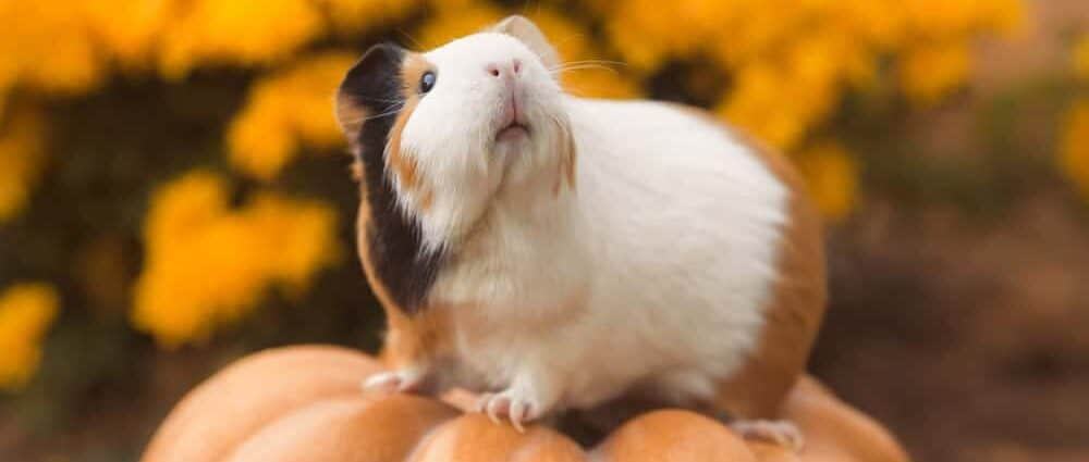 guinea pig on a pumpkin e1589726627579