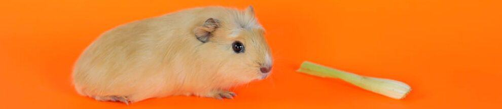 guinea pig orange background e1590160250411