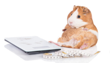 guinea pig overweight