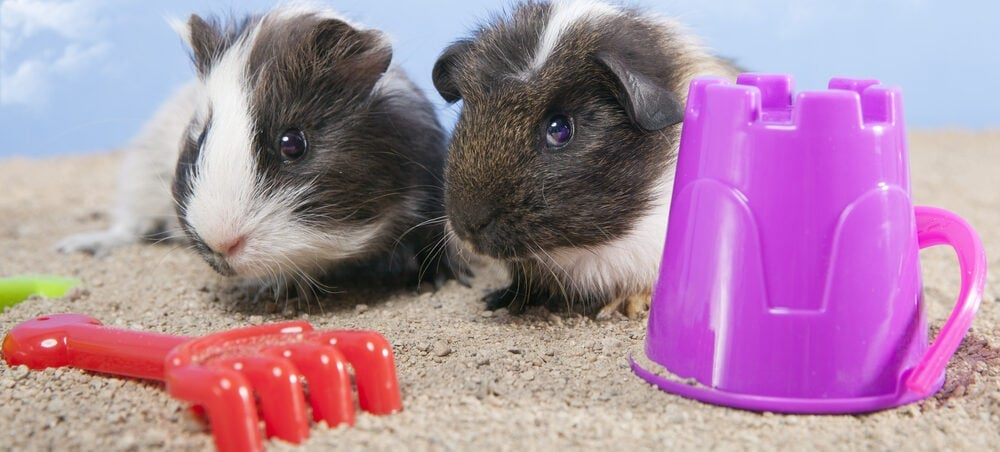 guinea pig play with toys e1589643593721