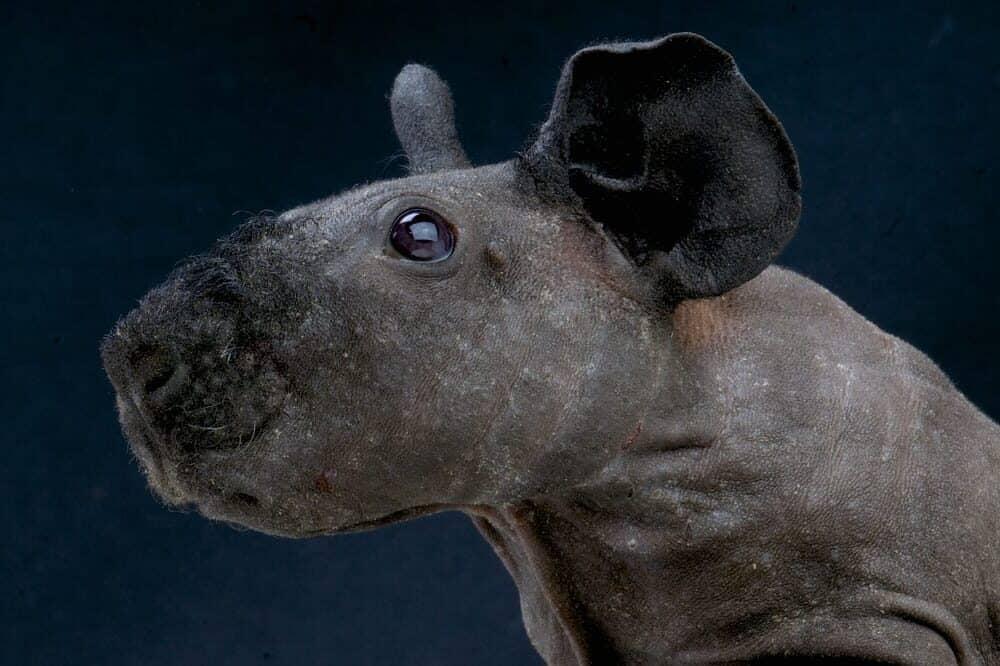 guinea pig portrait e1589640323684
