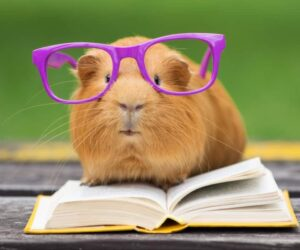 guinea pig red reading