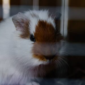 Can Guinea Pigs Be Depressed?