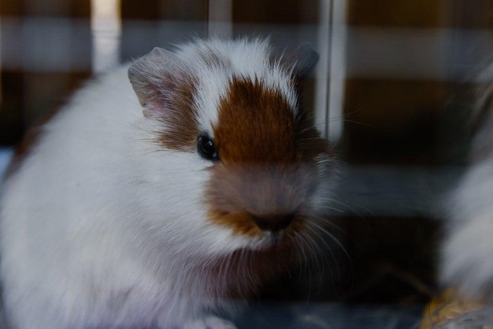 guinea pig sad 1