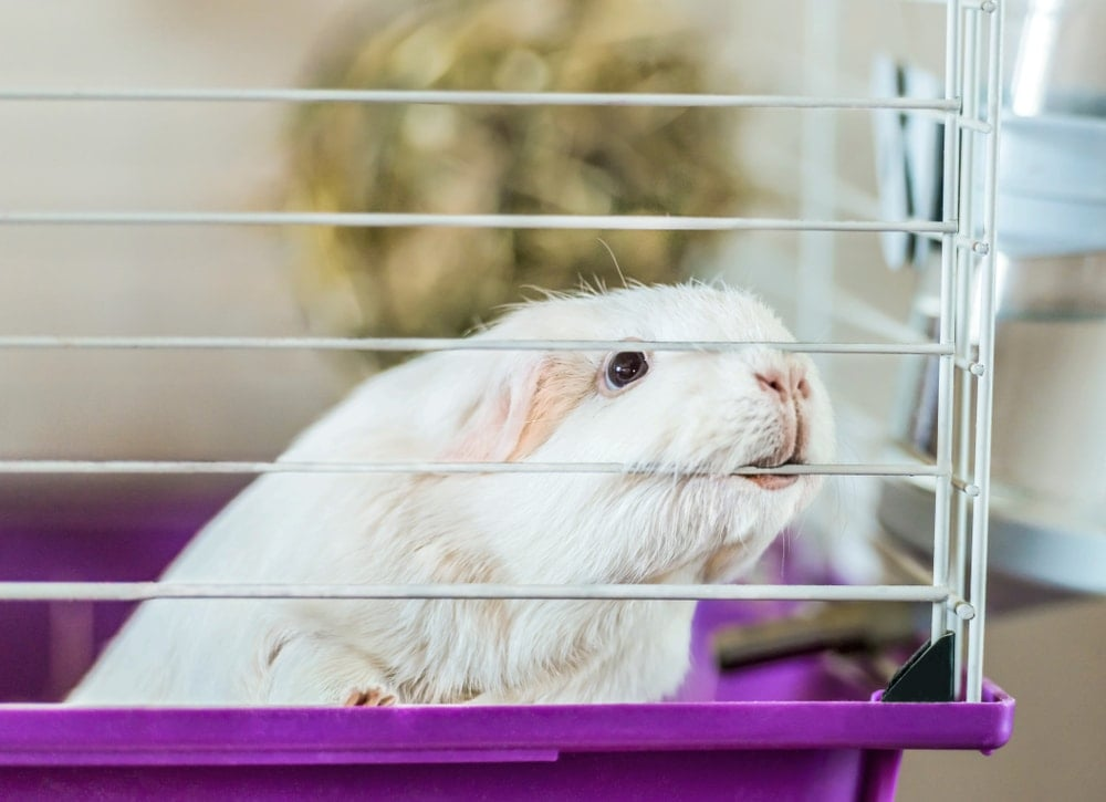 guinea pig sad