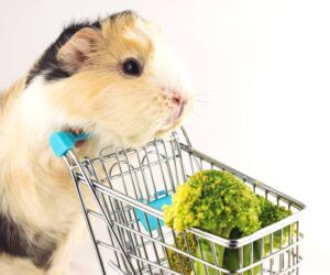 guinea pig shopping broccoli