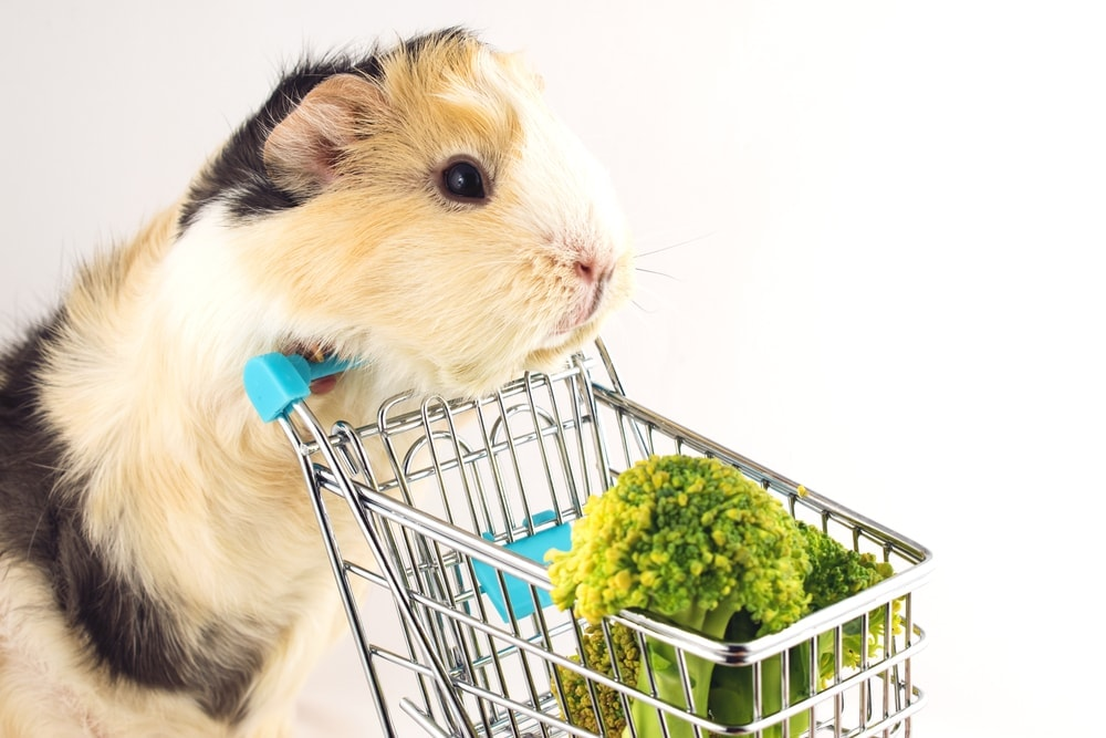 guinea pig shopping broccoli
