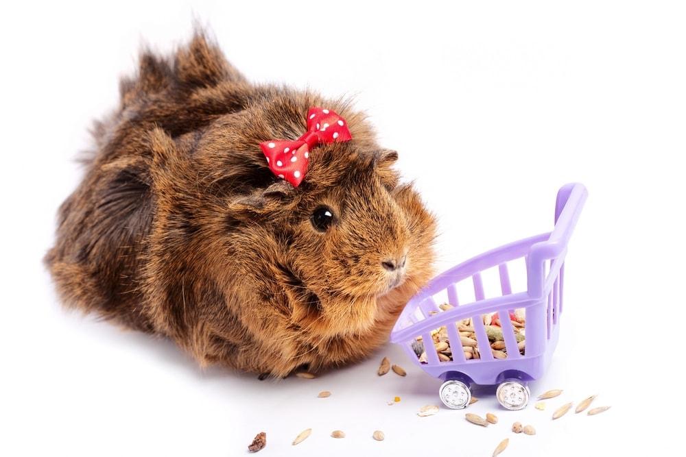 guinea pig shopping