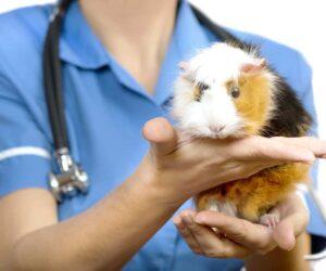 guinea pig sick 1