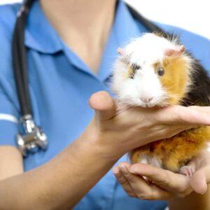 Common Guinea Pig Health Problems