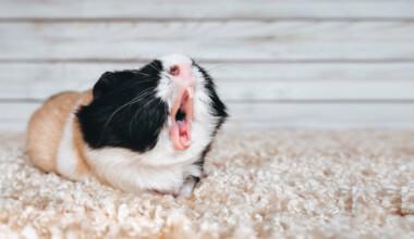 guinea pig singing
