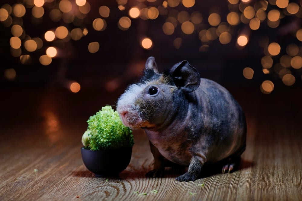guinea pig skinny and broccoli