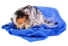 Can You Bathe a Guinea Pig?