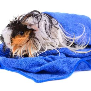 Can You Bathe a Guinea Pig?