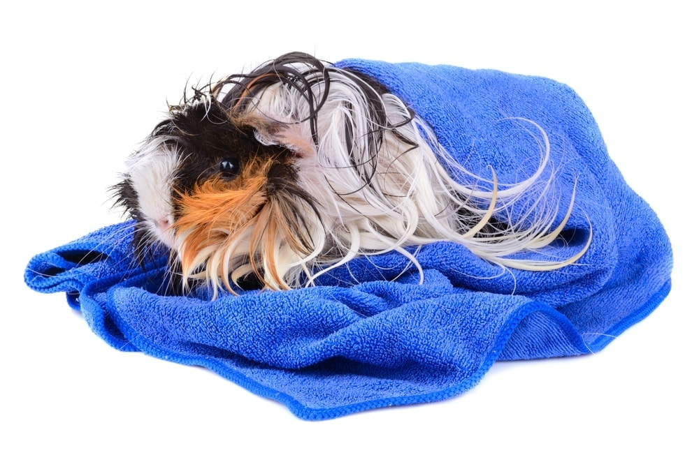 guinea pig wet in a towel