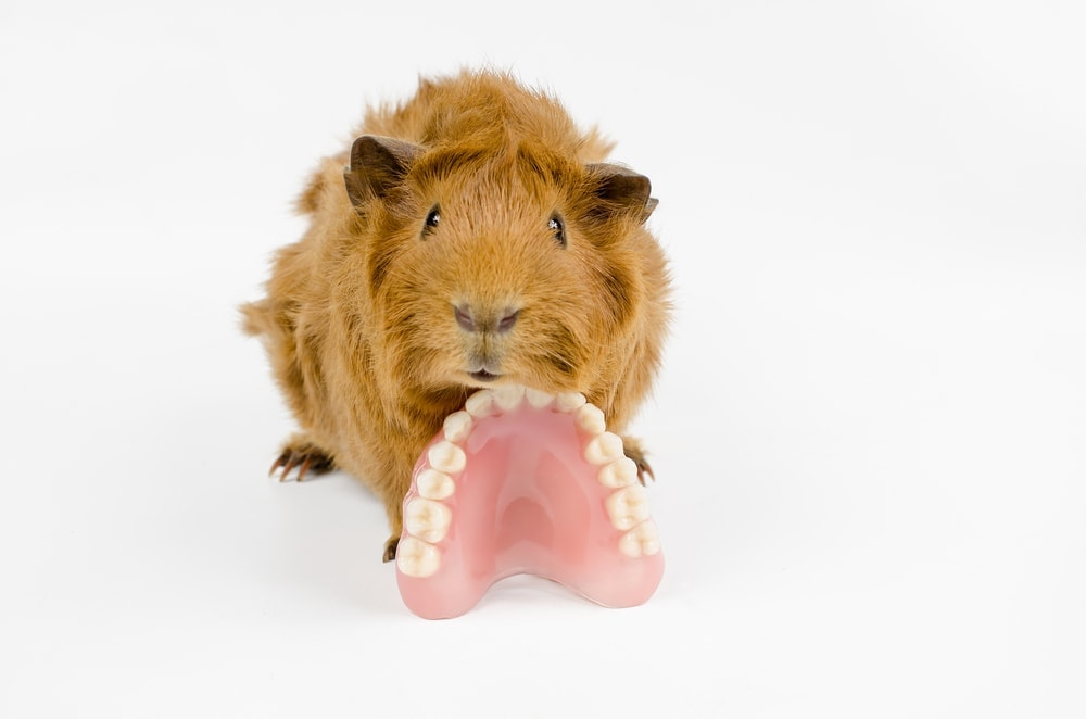 guinea pig with theeth