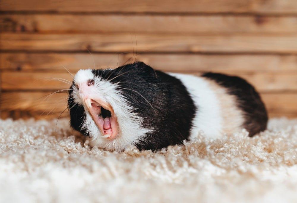 guinea pig yorning