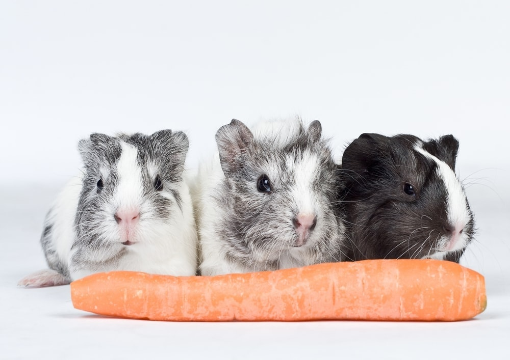 guinea pigs and carrot