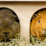 How to Clean Your Guinea Pigs Cage