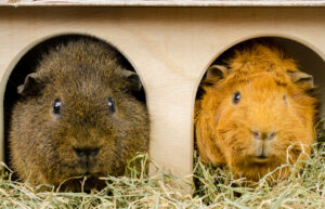 guinea pigs buddies eat