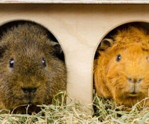 guinea pigs buddies eat
