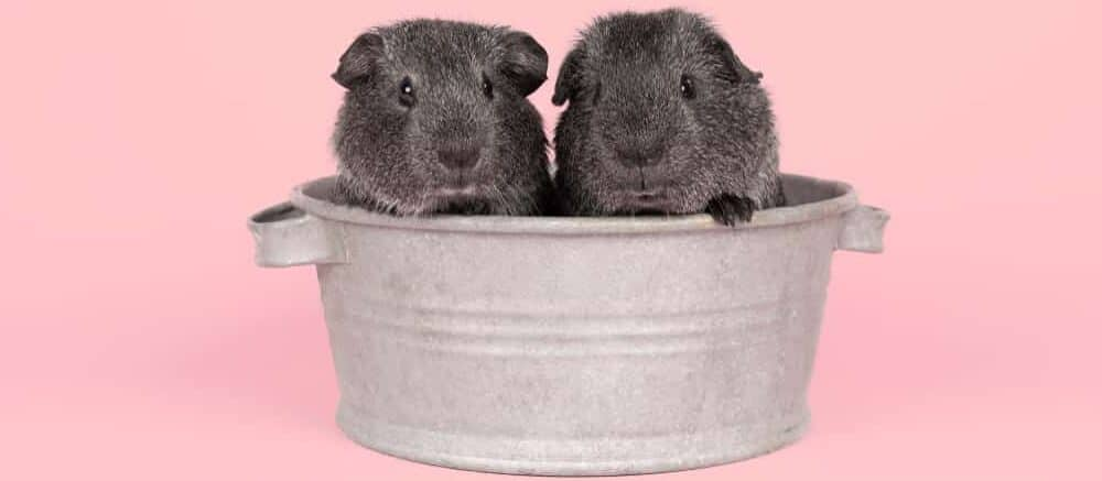 guinea pigs couple bathing e1589728391755