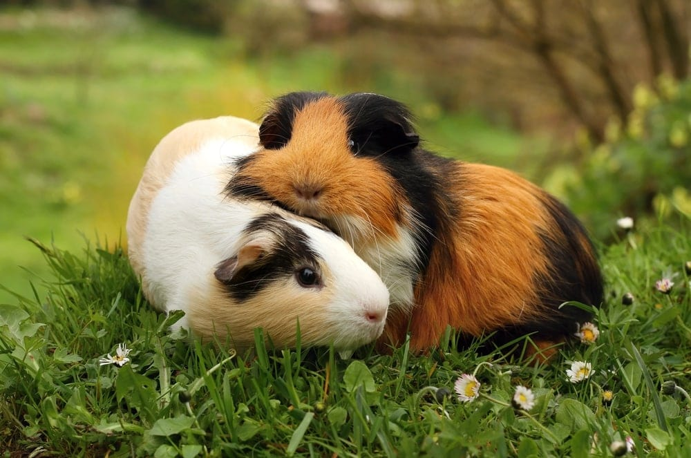 guinea pigs cute couple