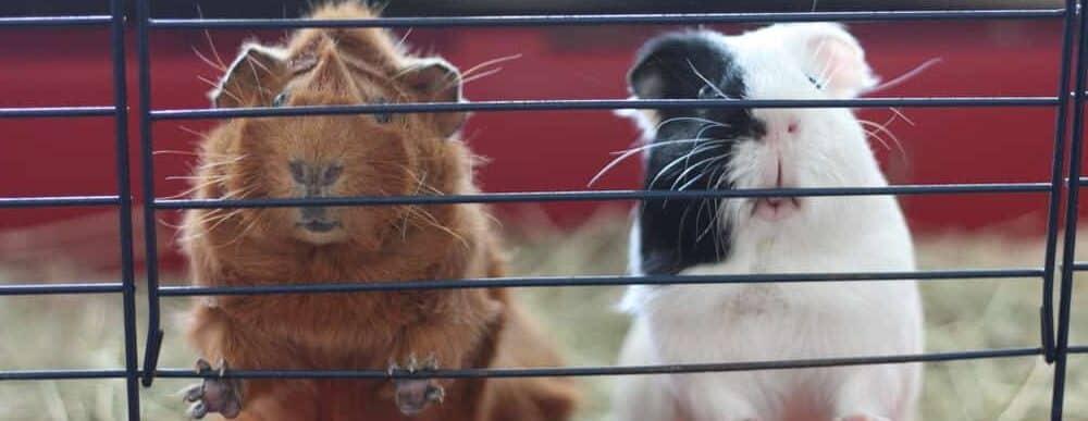 guinea pigs in a cage e1589728661778