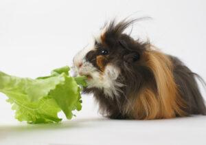 hairy guinea pig eating