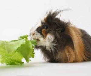 hairy guinea pig eating